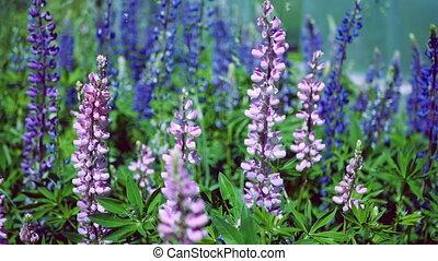lupin, розовый, пурпурный, люпин, синий, close-up:, lupinus, поле, цветы