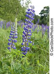 lupin, fleurs, (genus, lupinus)