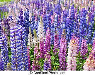Lupin Flowers - A field of lupin wildflowers in New Zealand