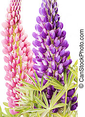 Lupin flowers - Close up two lupin flowers in vertical...