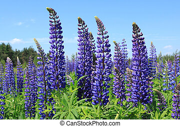 Lupin flowers (genus Lupinus) in Poland. Flora in Europe.