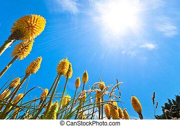 Lupin flowers - Beautiful yellow Lupin flowers and sunny...