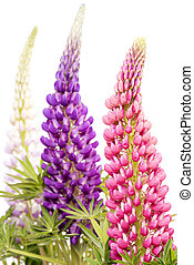 Lupin flowers - Three lupin flowers on white background in...
