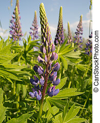 lupin - Lupin in sunny day