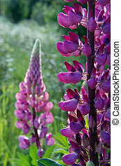 lupin with many small blossoms near forest