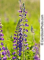 lupin - nature series: blue lupin in spring season