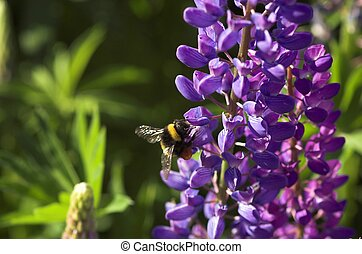 Lupin with a Bumblebee