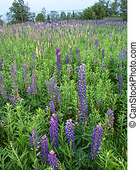 Beautiful lupine flowers grow along the shoreline of Lake Superior in northern Michigan.