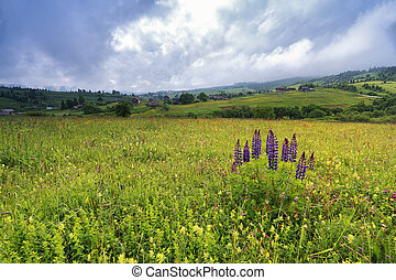 lupine flowers bush on spring meadow in mountains