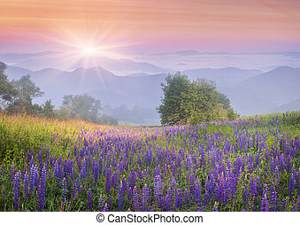 Lupine flowers in dew on the meadow in the mountains of the cool early morning