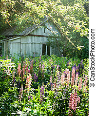 lupine flowers in the field meadow. Lupines flowering plants...