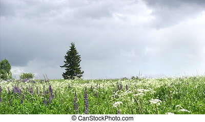 Lupine flowers - Summer field with lupine flowers and lonely...