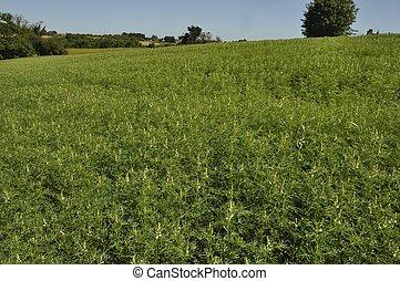 lupine fodder in a field
