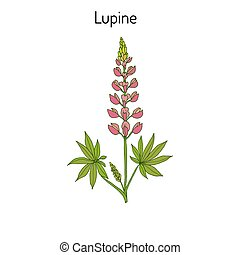 lupine illustrations and clip art 126 lupine royalty free