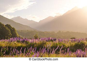 lupine montanha, gama, pôr do sol, flores, paisagem, vista