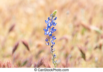 Lupine wildflowers blooming in Desert.