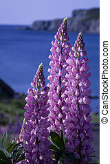 Lupines, purple flowers