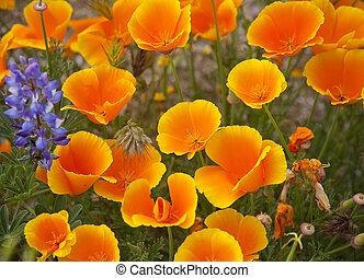 lupino, amapolas de california