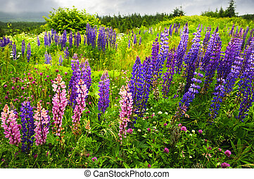 lupino, flores, terranova, paisaje