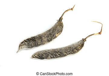lupino, semilla