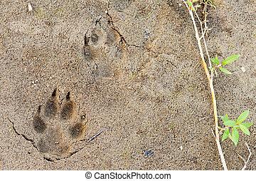 lupo, piede stampa, in, morbido, fango, e, salice, foglie