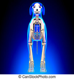 lupus, esqueleto, familiaris, -, perro, anatomía, canis, vista delantera