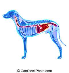 lupus, familiaris, freigestellt, -, system, hund, koerperbau...