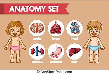 lurar, vetenskaplig, läkar illustration, anatomi, mänsklig