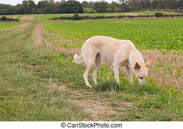 Lurcher Dog in a Field