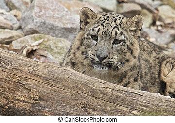 Lurking Snow Leopard
