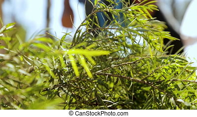Lush and green leaves in focus - A still close up shot of...