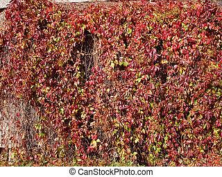 lush autumn grape