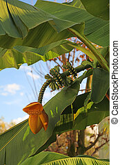 lush banana tree with the flower and the fruit