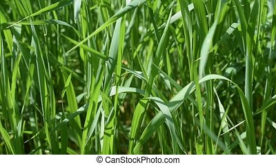 Lush blades of green grass in a meadow