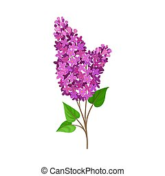 Lush branch lilac. Vector illustration on a white background.