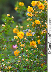 lush bush of yellow roses after rain