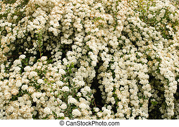 Lush bush with small white flowers close up