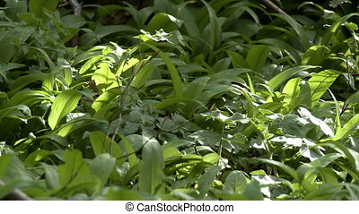 Lush carpeting of green plants - A lush carpeting of thick,...