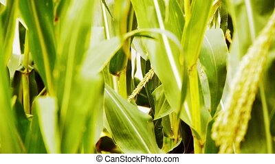 lush corn leaves in agriculture