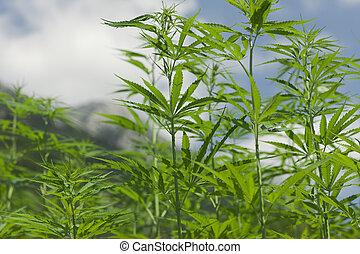 Lush fields of industrial hemp in summer