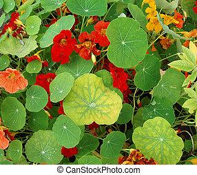 Lush flora of nasturtiums - Background. Lush flora of red ...