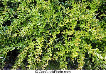 Lush foliage of growing bush. Natural green background.