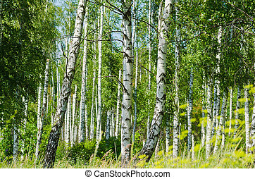lush foliage of summer birch forest. Selective focus ...