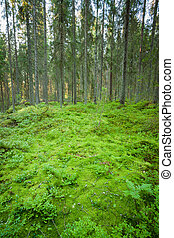 Lush forest floor in finland