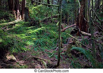 Lush Forest in Pacific Northwest - A lush forest in the...