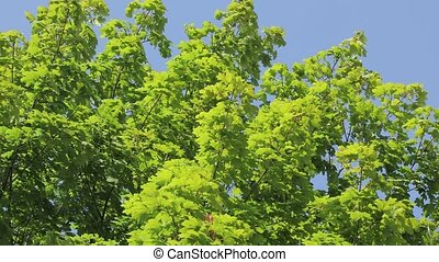 Lush geen tree top in the wind - Green tree leaves in the...