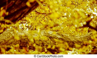lush ginkgo tree in breeze,Autumn,forest,woods.