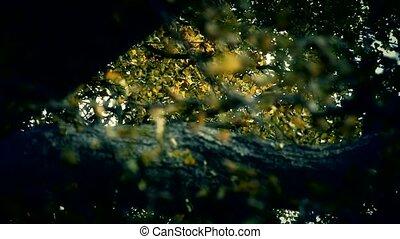lush ginkgo tree in breeze,Autumn