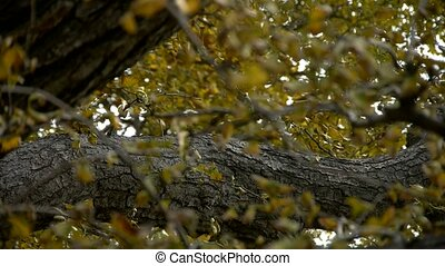 lush ginkgo tree in breeze,Trunk,forest,woods.