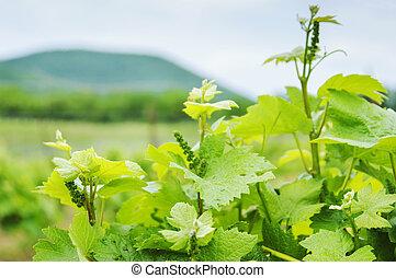 Lush Grape Vineyard in the field. Russia.